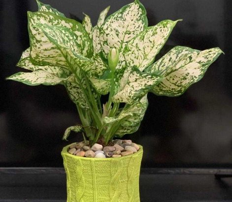 Real Indoor Plant for sale